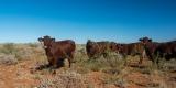 Mehr Kühe